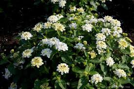 White Flowering Shrub - flowering shrubs and vines lantana white water saver