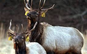 n c elk hunting approved for mountains charlotte observer