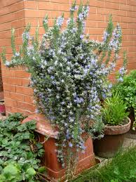 plants that keep mosquitoes away better housekeeper blog all things cleaning gardening cooking