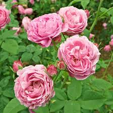The Most Fragrant Plants - the most fragrant roses for your garden cut flowers summertime