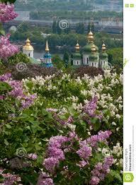lilac tree blossom in kiev stock photo image 70839712