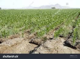 irrigated corn edge irrigated corn field arizona desert stock photo royalty free
