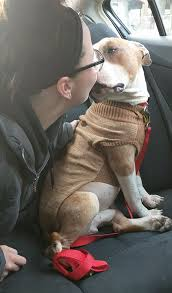 Seeking Pitbull Look At The Amazing Reaction Of A Pitbull When A Adopts It