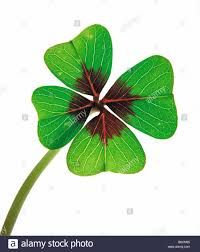 four leaf clover close up stock photo royalty free image