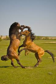 mustang horse wild horses fighting