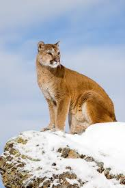 Utah wild animals images Mountain lions bears rattlesnakes 39 oh my 39 summer sightings in jpg