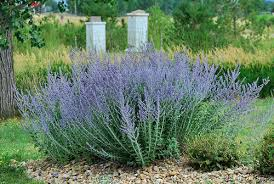 does russian sage kill bees