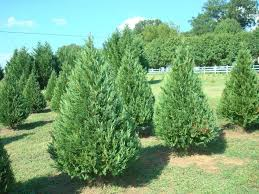 62 best trees and bushes images on cedar trees desert