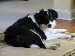 australian shepherd water kobe 11 month old border collie australian shepherd mix