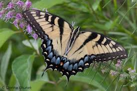 eastern tiger swallowtail mdc discover nature