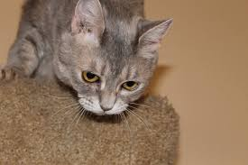 pretty kitty u2013 female dsh foreclosed pets