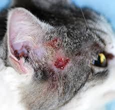 update on feline adverse food reactions mspca angell