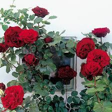 don juan climbing rose from jackson u0026 perkins