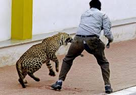leopard attacks 3 people after wandering into indian
