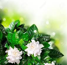 gardenia flowers jasmine stock photo picture and royalty free