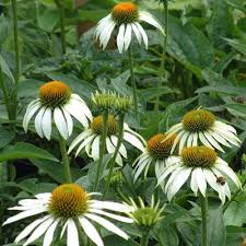 Daisy The Flower - 433 best garden images on pinterest garden ideas garden plants