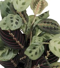 hirt u0027s 1 red u0026 1 green prayer plant maranta easy grow 4