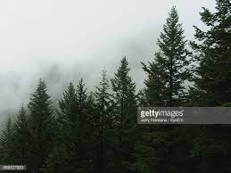 pine tree stock photos and pictures getty images