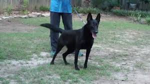 belgian shepherd black largest female belgian malinois youtube