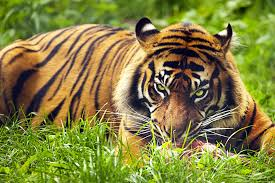 tiger pictures kids search