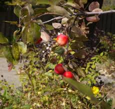 How To Grow Apple Trees In Backyard Small Apple Tree Oh To Have An Apple Tree Small Orchard In The