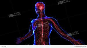 Nervous System Human Anatomy Nervous System Stock Animation 1591934