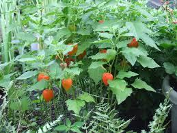 japanese lantern plant o lantern or japanese lantern plant has taken my yard