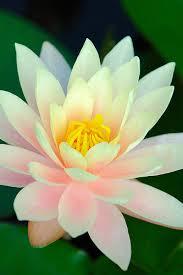 Lotus Flower In Muddy Water - dsc 0061 lotus flowers lotus and flowers