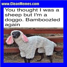 Alpaca Sheep Meme - was a sheep clean memes the best the most online