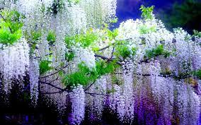flowers wisteria climbing vines pea family flowering plants