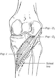Anatomy Of The Knee Clinical Anatomy Of The Knee Reumatología Clínica