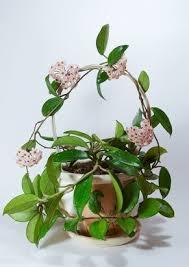 best 25 hoya plants ideas on pinterest cool flowers upside