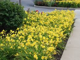 Reblooming Daylilies Anything You Can Do I Can Do Better Creating Sustainable Landscapes