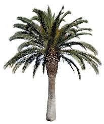 texture palm big png with alpha trees lugher texture library