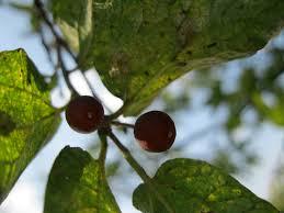 What Fruit Trees Grow In Texas - hackberry jam wild edible plants of texas