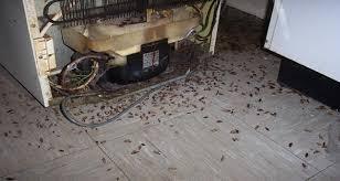 blatte de cuisine un moyen efficace pour faire fuir toutes les blattes de votre maison