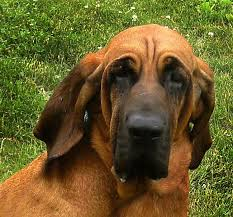 Types Of Dogs Bloodhound Photo Are Bloodhounds Good Apartment Dogs All Types