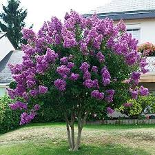 tree with purple flowers twilight crape myrtle drought tolerant shrub and purple
