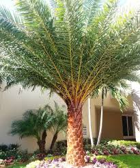 sylvester palm tree price palm trees creative water features inc