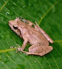 bright lights big city tiny frog romer s tree frog survives