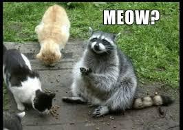 Racoon Meme - 13 hilarious raccoon memes cutesypooh