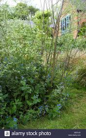 alkanet cow parsley below willow border with ornamental grasses