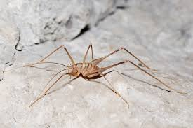 real monstrosities cave cricket