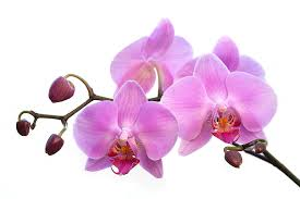 orchid flowers orchid flowers pink photograph by natalie kinnear