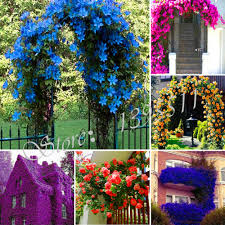 100 pcs perfume by rainbow climbing plants flower seed coulourful