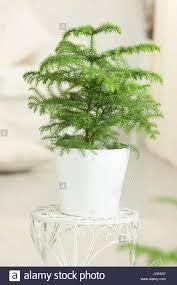araucaria heterophylla araucaria excelsa norfolk island pine