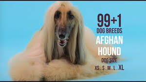 afghan hound speed afghan hound 99 1 dog breeds youtube