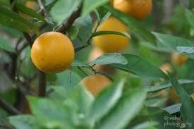 growing orange trees information on taking care of an orange tree