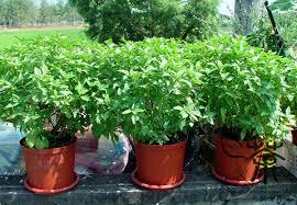 aliexpress buy annual herbs refreshing ocimum basilicum