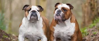 Do English Bullmastiffs Shed by Breeds Archives Natural Dog Company